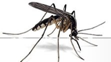 Les moustiques en Camargue