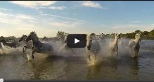 Chevaux galopant dans les marais petit camarguais